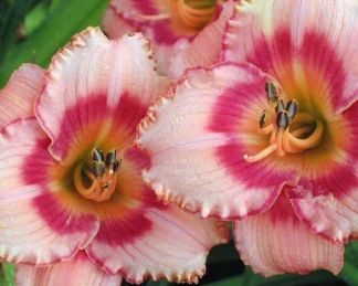 Hemerocallis-Strawberry-Candy-sasliliom