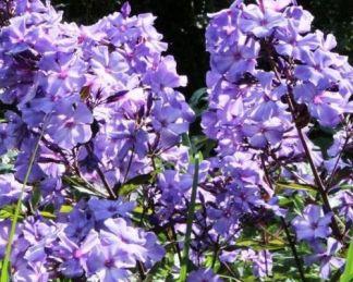 Phlox-paniculata-blue-paradise-bugas-langvirag