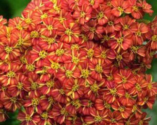 achillea-millefolium-desert-eve-terracotta-cickafark