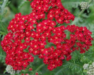 achillea-millefolium-red-velvet-cickafark