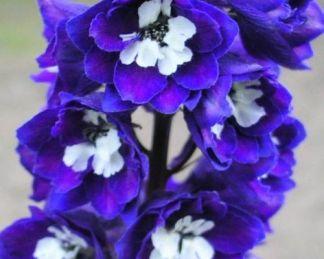 delphinium-cultorum-excalibur-dark-blue-with-white-bee-szarkalab