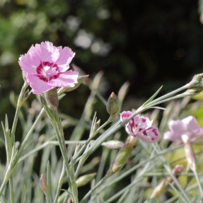 dianthus_gratianopolitanus Jane Austen