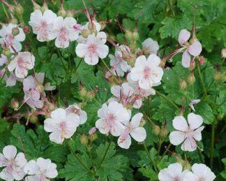geranium-cantabrigiense-biokovo-piros-golyaorr