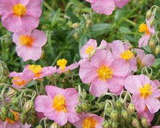 helianthemum-wisley-pink-napvirag