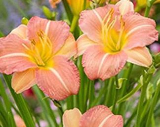 emerocallis-everydaylily-pink-cream-sasliliom
