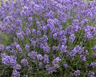 lavandula-angustifolia-essence-purple-levendula