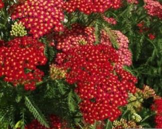 achillea-millefolium-paprika-cickafark