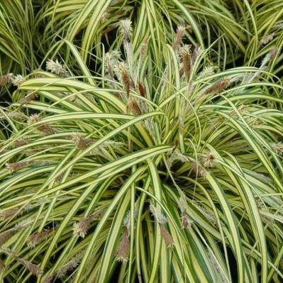carex-oshimensis-evergold-madarlabu-sas