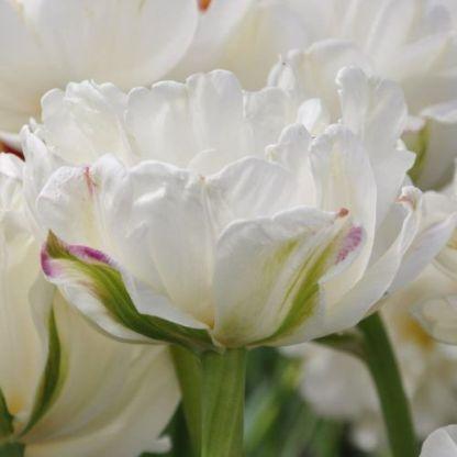 tulipa-mount-tacoma-teltviragu-tulipan