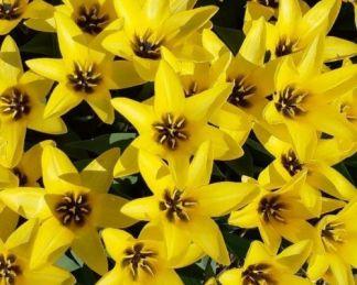 tulipa-partitura-fosteriana-tulipan