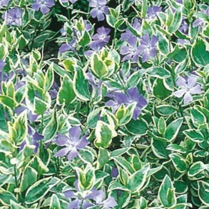 vinca-major-variegata-nagy-meteng