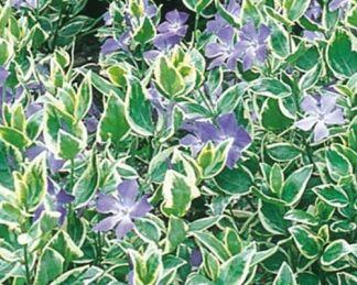 vinca-major-variegata-nagy-meteng
