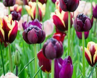 Tulipán válogatás