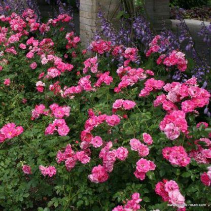 Bad_Woerishofen floribunda ágyás rózsa