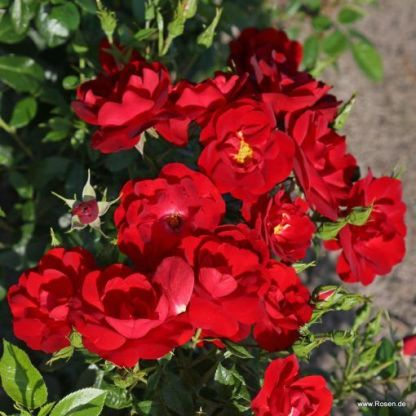 Cayenne floribunda ágyás rózsa