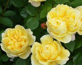 Charles_Darwin david austin rose