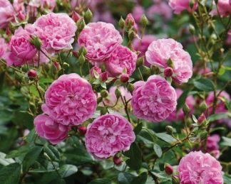 Harlow_Carr angol rózsa David austin