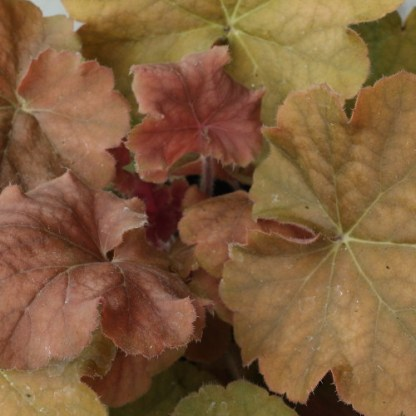 Heuchera 'Northern Exposure Amber – tűzgyöngyvirág