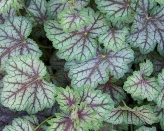 Heuchera_Green_Spice