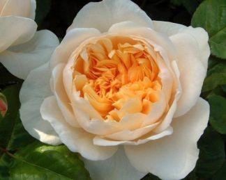 Jayne_Austin angol rózsa