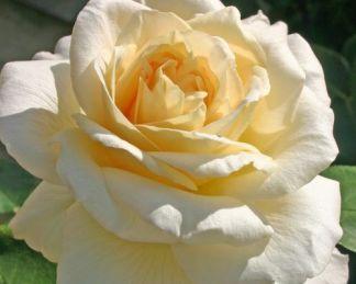 La_Perla teahibrid rózsa