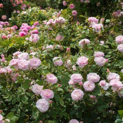 Lady_Salisbury_1 angol rózsa