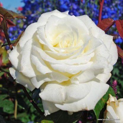 Memoire teahibrid rózsa
