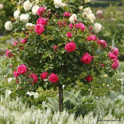 Moin_Moin floribunda ágyás rózsa