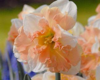 Narcissus apple-pie-nagyviragu-narcisz