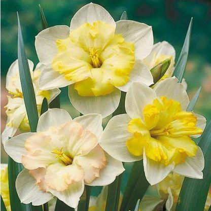 Narcissus-changing-colours-nagyviragu-narcisz