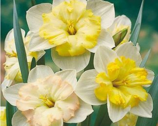 Narcissus-changing-colours-nagyviragu-narcisz