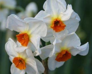 Narcissus-cragford--tazetta-narcisz