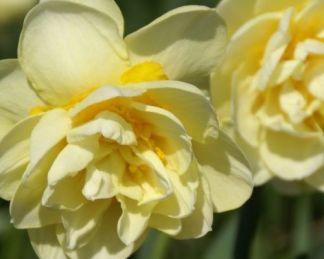 Narcissus-manly-duplaviragu-narcisz