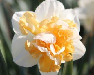 Narcissus-peach-prince-duplaviragu-narcisz