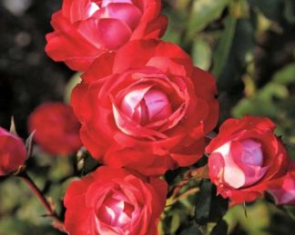 Planten_un_Blomen floribunda ágyás rózsa