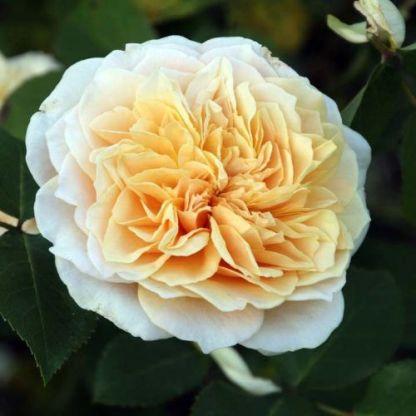 Rosa-David-Austin-English-Garden