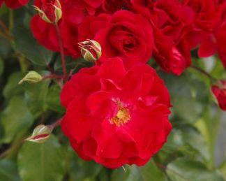 Rotilia floribunda ágyás rózsa