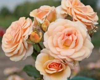Sweet_Honey_ floribunda rózsa