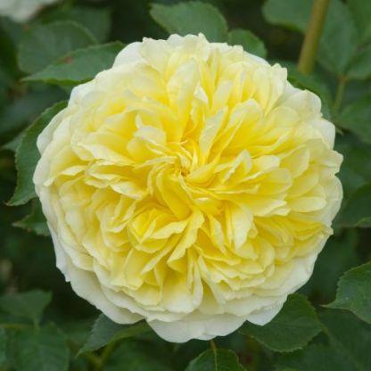 the_pilgrim_angol rózsa