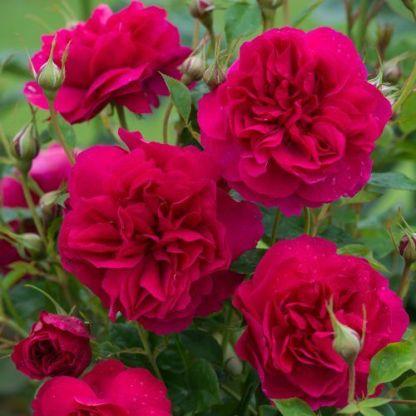Thomas_Becket angol rózsa