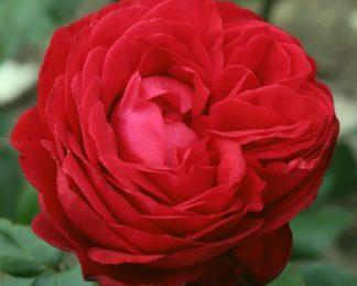 Tiamo teahibrid rózsa