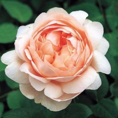 ambridge_david austin rózsa