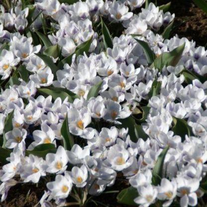 crocus-chrysanthus-prins-claus-krokusz2