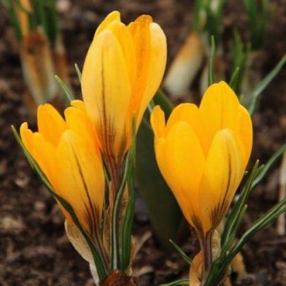 crocus-flavus-golden-yellow-krokusz