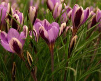 crocus-minimus-spring-beauty-krokusz