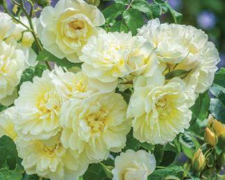 imogen angol rózsa david austin
