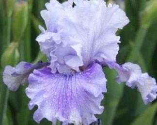 iris-barbata-elatior-ascent-of-angels-noszirom