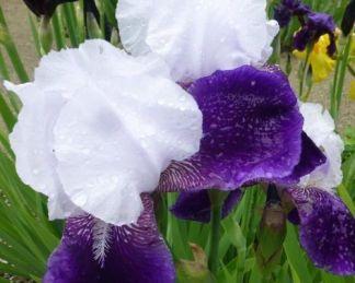 iris-barbata-elatior-elizabeth-noble-noszirom
