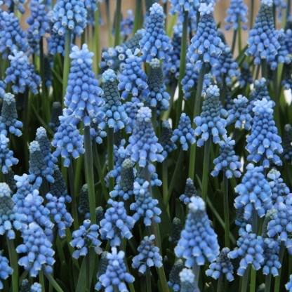 muscari-aucheri-blue-magic-gyöngyike