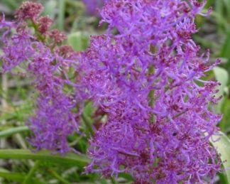 muscari-comosum-plumosum-üstökös-gyöngyike